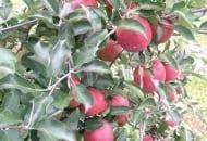 FOT. 3. W dolnej partii korony jabłoni 'Red Jonaprince' niepoddawanej cięciu letniemu, jabłka mogą się nie wybarwiać