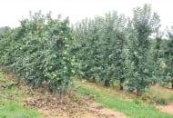 FOT. 4. Na drzewach po cięciu (po lewej) owoce zostały odkryte, podczas gdy w rzędzie bez cięcia prawie ich nie widać