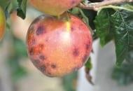 FOT. 5. Gorzka plamistość podskórna jest skutkiem przegrywania owoców w konkurencji o wapń z silnie rosnącymi pędami, wyrastającymi na drzewach w nadmiernej liczbie