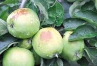 FOT. 7. Jabłka zbytnio odsłonięte podczas cięcia latem są narażone na oparzenia słoneczne