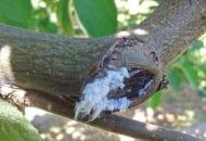 FOT. 3. Skuteczność zwalczania bawełnicy korówki zależy m.in. od dokładnego naniesienia cieczy użytkowej na drzewa, wtym pnie