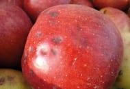 FOT. 1b. Gorzka plamistość podskórna na jabłkach po przechowywaniu