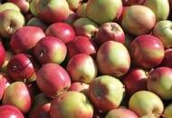 FOT. 2. Czerwony rumieniec na jabłkach jest lepiej widoczny, gdy podstawowa barwa skórki jest zielona