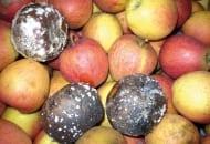 FOT. 5. Brunatna zgnilizna jabłek (Monilinia fructigena)