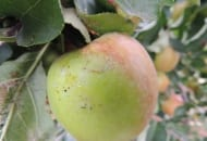 FOT. 8. Uszkodzenia spowodowane przez zwójkę siatkóweczkę na owocach…
