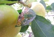 FOT. 9. …oraz liściach jabłoni