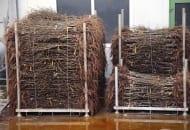 FOT. 4. Drzewka jabłoni przechowywane wchłodni zodkrytym korzeniem