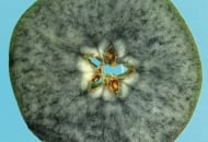 Fot. 4. Owoce niedojrzałe –cała powierzchnia przekroju zabarwiona na granatowo