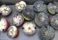 Fot. 1. W roztworze jodu w jodku potasu skrobia w niedojrzałych jabłkach barwi się na granatowo