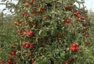 Fot. 1. Drzewo odmiany 'Jonagold' tworzy dużą, średnio zagęszczoną koronę