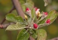 Fot. 4. Uszkodzenia kwiatów przez przymrozki wiosenne