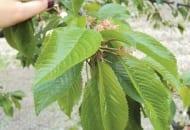 Fot. 10. Jesienne nawożenie dolistne drzew zapewnia jakość liści i dobre odżywienie pąków kwiatowych w kolejnym sezonie