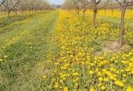 Fot. 11. Dzięki jesiennemu zabiegowi glifosatem unika się intensywnego rozwoju chwastów w okresie przed i w czasie kwitnienia, kiedy stanowią największą konkurencję dla drzew owocowych i utrudniają ich ochronę chemiczną