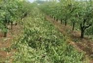 Fot. 4. We wrześniu powinno się zakończyć cięcie wiśni i czereśni