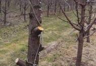 Fot. 6. W wielu sadach często widzi się pozostawione na okres jesieni i zimy pnie chorych drzew, na których z czasem rozwijają się zarodniki podstawkowe grzyba odpowiedzialnego za porażenie drzew srebrzystością liści drzew
