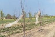 Fot. 7. Przed sarnami sad można również zabezpieczać zawieszając na wysokich palikach lub drzewach duże kawałki folii – tu próba podjęta przez sadownika