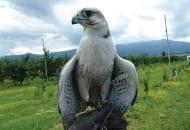 Fot. 9. Sprzymierzeńcami sadowników w walce z gryzoniami polnymi są drapieżne ptaki