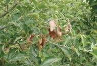 Fot. 3. Objaw uszkodzeń po zimowych - choroby zgorzelinowe w środkowej części korony drzewa – efekt zamieranie pędów powyżej ran
