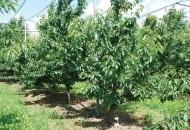 6-2011-przydatnosc-sadownicza-roznych-podkladek-wegetatywnych-fot.11.jpg