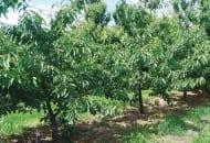 6-2011-przydatnosc-sadownicza-roznych-podkladek-wegetatywnych-fot.12.jpg