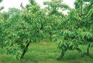 6-2011-przydatnosc-sadownicza-roznych-podkladek-wegetatywnych-fot.2.jpg