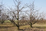 6-2011-przydatnosc-sadownicza-roznych-podkladek-wegetatywnych-fot.3.jpg