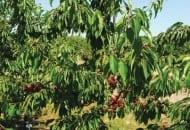 6-2011-przydatnosc-sadownicza-roznych-podkladek-wegetatywnych-fot.5.jpg