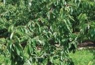 6-2011-przydatnosc-sadownicza-roznych-podkladek-wegetatywnych-fot.6.jpg