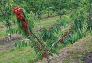 6-2011-przydatnosc-sadownicza-roznych-podkladek-wegetatywnych-fot.8.jpg