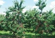 6-2011-przydatnosc-sadownicza-roznych-podkladek-wegetatywnych-fot.9.jpg