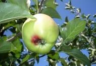 FOT. 2. Objawy szarej pleśni na jabłkach w sadzie