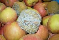 FOT. 4. Objawy mokrej zgnilizny jabłek