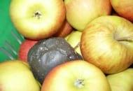 FOT. 5. Uszkodzone owoce są w przechowalni porażane przez grzyby z rodzaju Monilinia