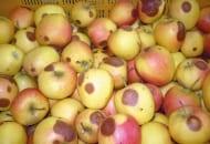 FOT. 1. Gorzka zgnilizna na jabłkach odmiany 'Pinova'