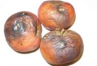 FOT. 2. Uszkodzenia owoców są początkiem rozwoju brunatnej zgnilizny jabłek