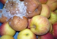 """FOT. 3. Jabłka o """"mocnej"""" skórce są mniej podatne na zakażenie przez kontakt"""