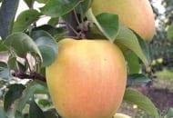 FOT. 1. Żółknięcie owoców lub obecność rumieńca na odmianach o zielonych owocach nie są akceptowane przez większość odbiorców