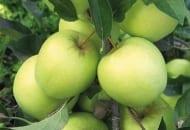 FOT. 2. Jabłka odmiany 'Golden Delicious' powinny jak najdłużej pozostać zielone