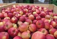 FOT. 3. Dokarmianie fosforem jest stosowane w celu poprawienia wybarwiania jabłek odmian dwukolorowych