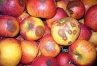 FOT. 1. Gorzka zgnilizna jabłek
