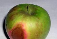 Oparzenia słoneczne jabłek