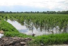 Skutki powodzi dla mineralnego odżywiania się drzew owocowych