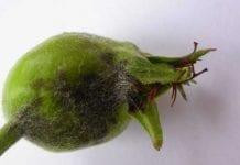 Choroby w sadach jabłoniowych i wiśniowych – uwagi po sezonie 2010