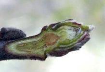 Czy po uszkodzeniach mrozowych jest szansa na owoce w tym roku?