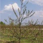 Wiosenne cięcie drzew pestkowych