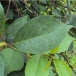 Zagrożenia chorobowe w sadach pestkowych