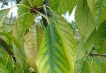 Drzewa pestkowe po zbiorach owoców