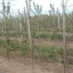 Uszkodzenia mrozowe roślin sadowniczych na Kujawach