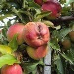 Ochrona chemiczna jabłek w okresie przedzbiorczym