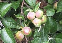 Dokarmianie sadów jabłoniowych po opadzie świętojańskim